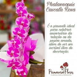 Phaneanopsis cascata rosa