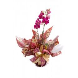 Orquídeas Glamurosas